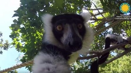 Lemuri vedono una fotocamera che li riprende: le loro reazioni sono buffe