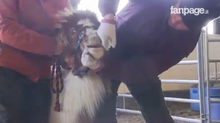 Usati come attrazione turistica e poi abbandonati: l'emozionante salvataggio dei pony
