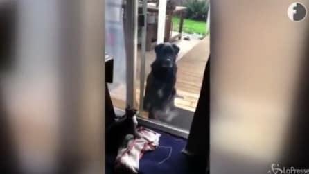Il gatto nota il cane al di là del vetro: quello che succede è esilarante
