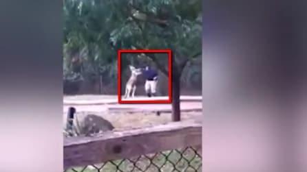 Incontro di box tra un canguro e un dipendente dello zoo: l'uomo prova a chiedere aiuto