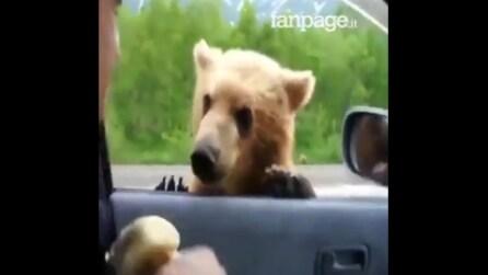 L'orso si aggira tra le macchine: quello che succede dopo è davvero incredibile