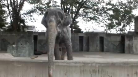 Ha vissuto 67 anni in una gabbia di cemento: la storia di questo elefante vi toccherà il cuore