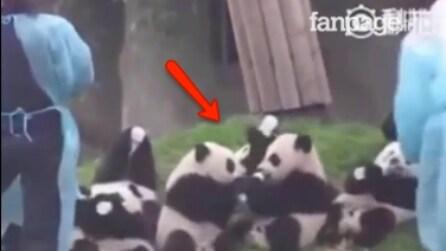 È l'ora della pappa per i piccoli panda: attenzione a ciò che avviene tra i due al centro