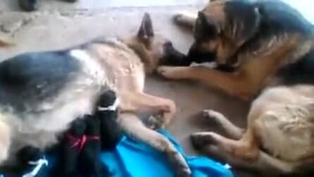 La cagnolina partorisce 5 cuccioli: la reazione del suo compagno vi toccherà il cuore