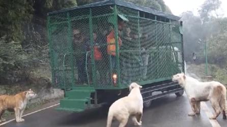 Lo zoo dove a finire in gabbia sono i turisti e non gli animali