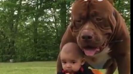 Il Pit bull gigante è la sua guardia del corpo: non lascia il piccolo neanche un secondo