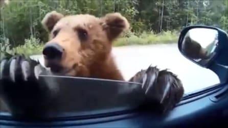 Vede due cuccioli di orso e ferma la sua auto: quello che succede dopo vi spiazzerà