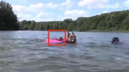 Il cane fa una nuotata, ma attenzione a quello che ha sulla schiena: non crederete ai vostri occhi