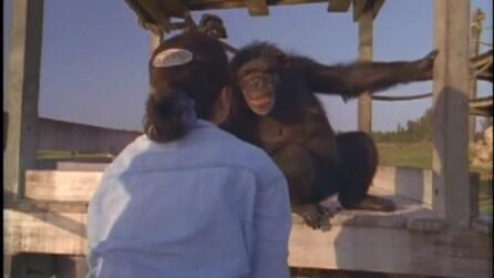 L'emozionante momento in cui gli scimpanzè rivedono la donna che li salvò 20 anni prima