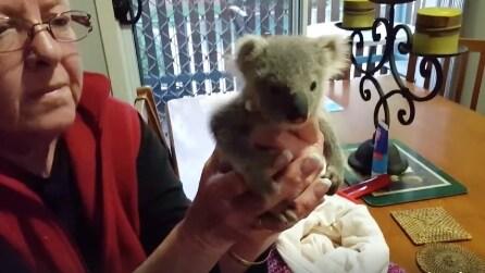 Louise, la piccola koala abbandonata dalla madre durante la tempesta