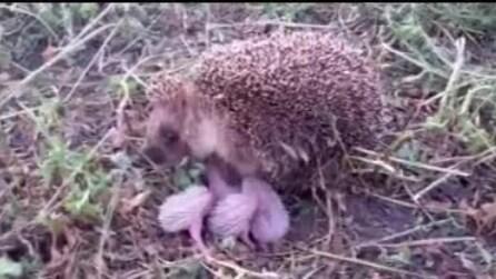I piccoli provano ad allontanarsi: mamma riccio li protegge così