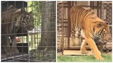 Viene sfruttata per anni in un circo: la reazione della tigre alla vista dell'erba vi emozionerà