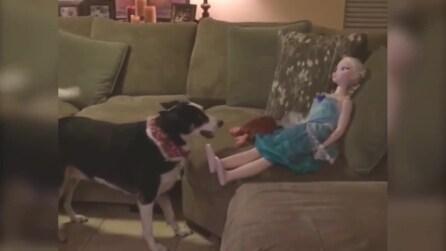 Questo cane vuole giocare ma ha le idee un po' confuse: la scena è esilarante