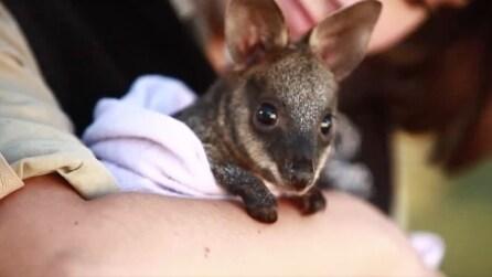 I primi istanti di vita del cucciolo di wallaby, il marsupiale cresciuto dagli umani