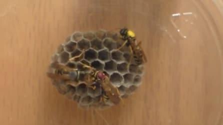 Ecco come le vespe formano il loro nido: le immagini ravvicinate