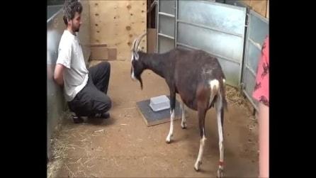 Le capre, come i cani, chiedono aiuto all'uomo quando hanno bisogno