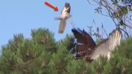 Il falco ha in pugno i due scoiattoli, ma guardate cosa sono in grado di fare con una sola mossa