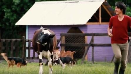 Corrono insieme nel prato: il comportamento di queste mucche vi lascerà senza parole