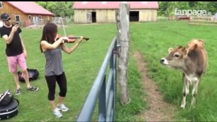 Queste mucche vanno pazze per la musica classica: la scena vi lascerà a bocca aperta