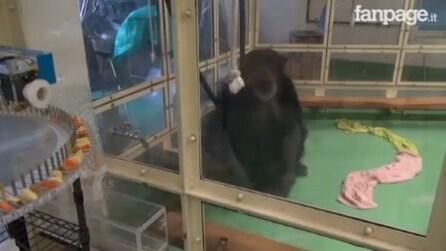 Uno scimpanzè alle prese con il touch screen: il motivo è davvero molto importante