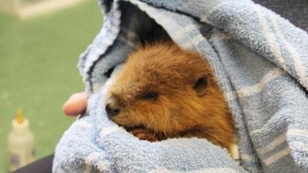 Trovano un piccolo castoro ferito e in stato confusionale: le sue espressioni sono di una dolcezza infinita