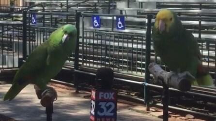 La giornalista intervista due pappagalli: dopo aver sentito le risposte non riuscirete a non ridere