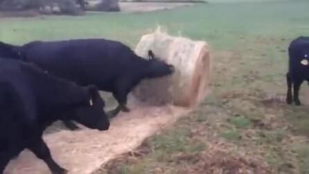 Mucche come docili gattini: il modo in cui giocano vi stupirà