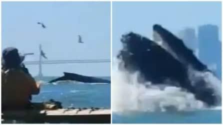Le balene accettano il cibo dalle persone: uno spettacolo unico