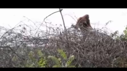 Un orango torna nella foresta, ma non trova più la sua casa: la triste scena
