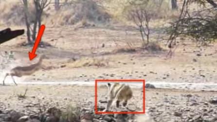Il fallimento del leone: attacca la gazzela ma fa una pessima figura