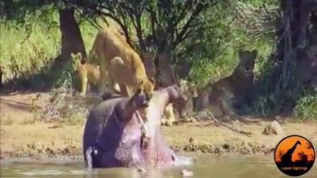Leoni uccidono ippopotamo: quello che esce dal suo corpo li fa scappare