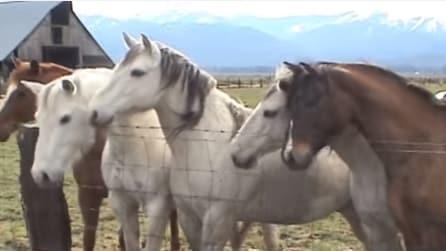 I cavalli sono attratti da qualcosa oltre la staccionata: la scena dolcissima pochi secondi dopo