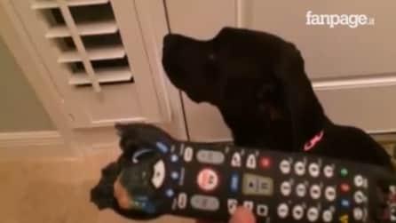 Distrugge il telecomando e la padrona lo rimprovera, ma la reazione del cucciolo è fantastica