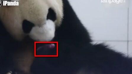 Il momento in cui un panda dà alla luce il suo cucciolo: le immagini sono emozionanti