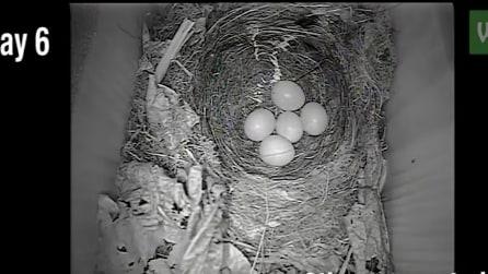 Installano una telecamera nel nido di un pettirosso: le bellissime immagini della schiusa delle uova