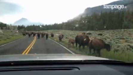 Una famiglia si ritrova circondata dai bisonti selvatici: la scena è da brividi