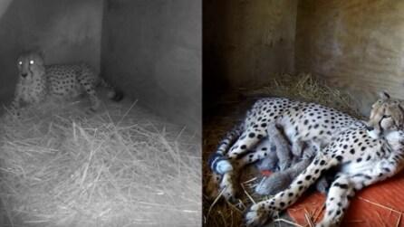 Installano una telecamera e filmano tutto: il ghepardo dà alla luce 5 cuccioli