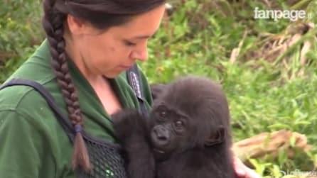 Fu il primo gorilla a nascere con parto cesareo, ma la mamma non lo ha riconosiuto: l'emozionante storia di Aifa