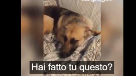 Torna da lavoro e trova la camera in disordine: guardate la rezione del cane quando prova a sgridarlo