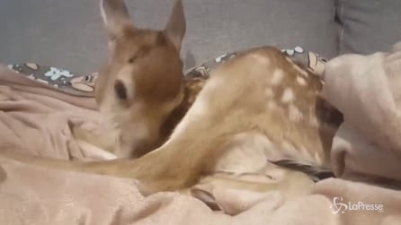 I cacciatori uccidono la sua mamma: la storia a lieto fine della cerbiatta Faline
