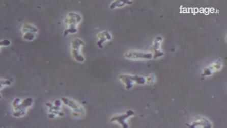 """Un'ameba """"mangia-cervello"""" attacca i neuroni: la scena vista al microscopio"""