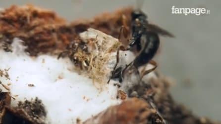Una vespa parassita paralizza il ragno e depone le uova: le immagini sono davvero uniche