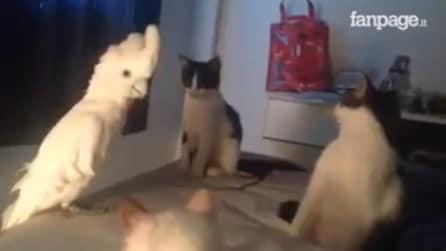 """Un pappagallo """"parla"""" con un gruppo di gatti: ascoltate con attenzione, resterete a bocca aperta"""