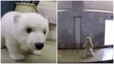 Il piccolo orso polare, abbandonato dalla madre, gioca all'interno dello zoo: le immagini sono tenerissime