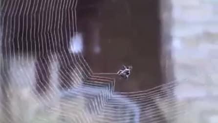 Un ragno tesse la ragnatela: uno spettacolo ipnotico