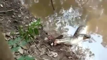 L'alligatore attacca un'anguilla elettrica: quello che succede mette i brividi
