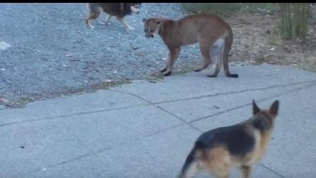 Il coguaro si avvicina alla casa di montagna provocando la reazione dei cani