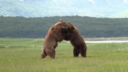 La feroce battaglia per l'accoppiamento tra due grandi orsi grizzly