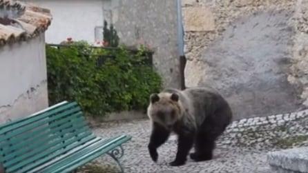 L'Aquila: nel borgo si aggira l'orso Amareno, adottato dagli abitanti