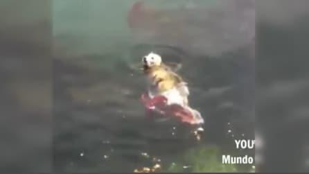 Una foca è in difficoltà in acqua: l'impressionante lotta con un polpo gigante
